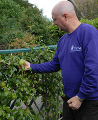 Espalier fruit is easy to reach